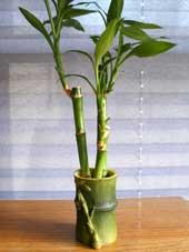 Dracaena sanderiana-lucky bamboo