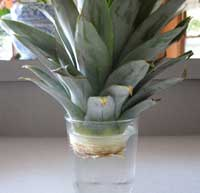 Growing pineapple for How to plant a pineapple top in a pot