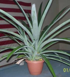 Propagating Pineapple Plants