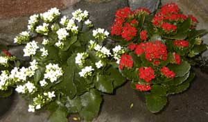white & red kalanchoe