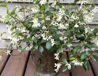 Confederate Jasmine in bloom