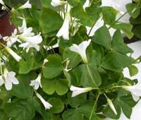 Oxalis triangularis indoor care website of nowolime - Shamrock indoor plant ...