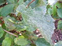 powdery mildew on grape leaves