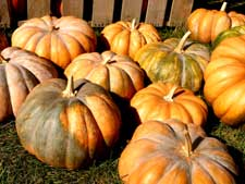 harvested pumpkins