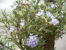 rosemary in bloom
