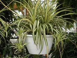 spiderplant-C.Vittatum