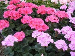 lavender & pink geranium