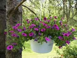 hanging bskt super petunia