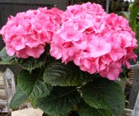 pink potted hydrangea