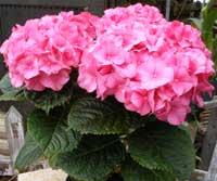 Florist hydrangea - Care potted hydrangea ...