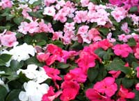 Shades of impatiens