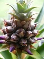 pineapple-flwr1