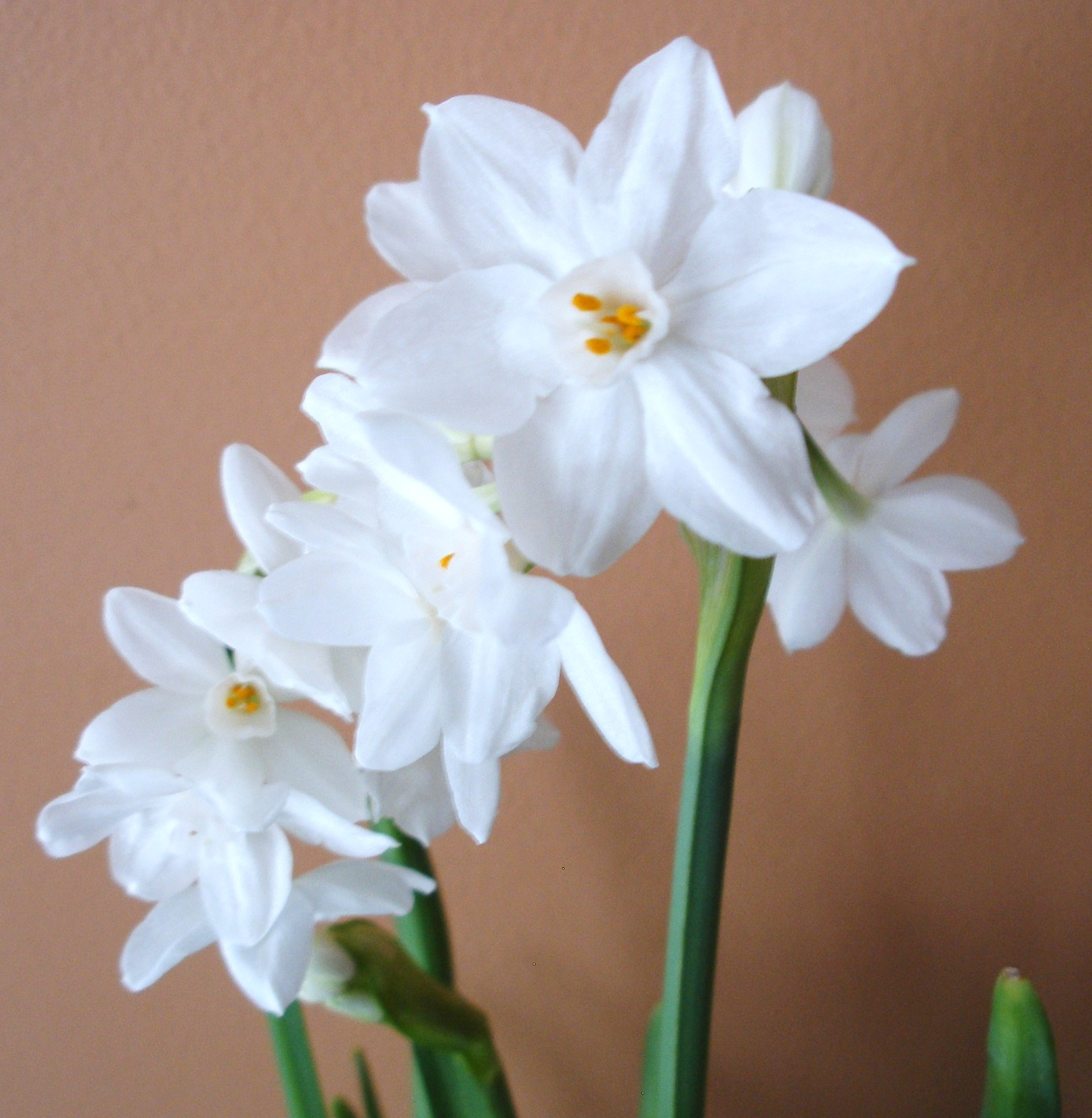 forcing paperwhites
