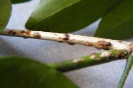Lakeland jasmine with scale
