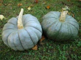 Jarrahdale Australian blue pumpkin