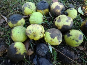 black walnuts with outer husk