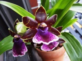 purple-orchid1