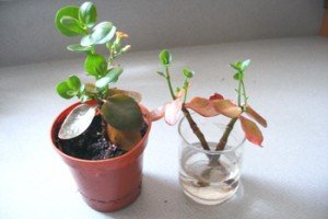 propagate kalanchoe in soil or root in water