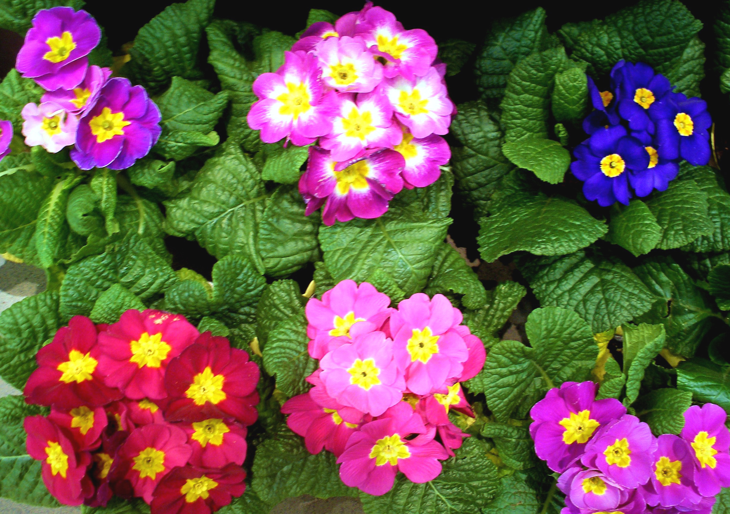 English primrose primula vulgaris - Flowers that bloom from spring to fall ...