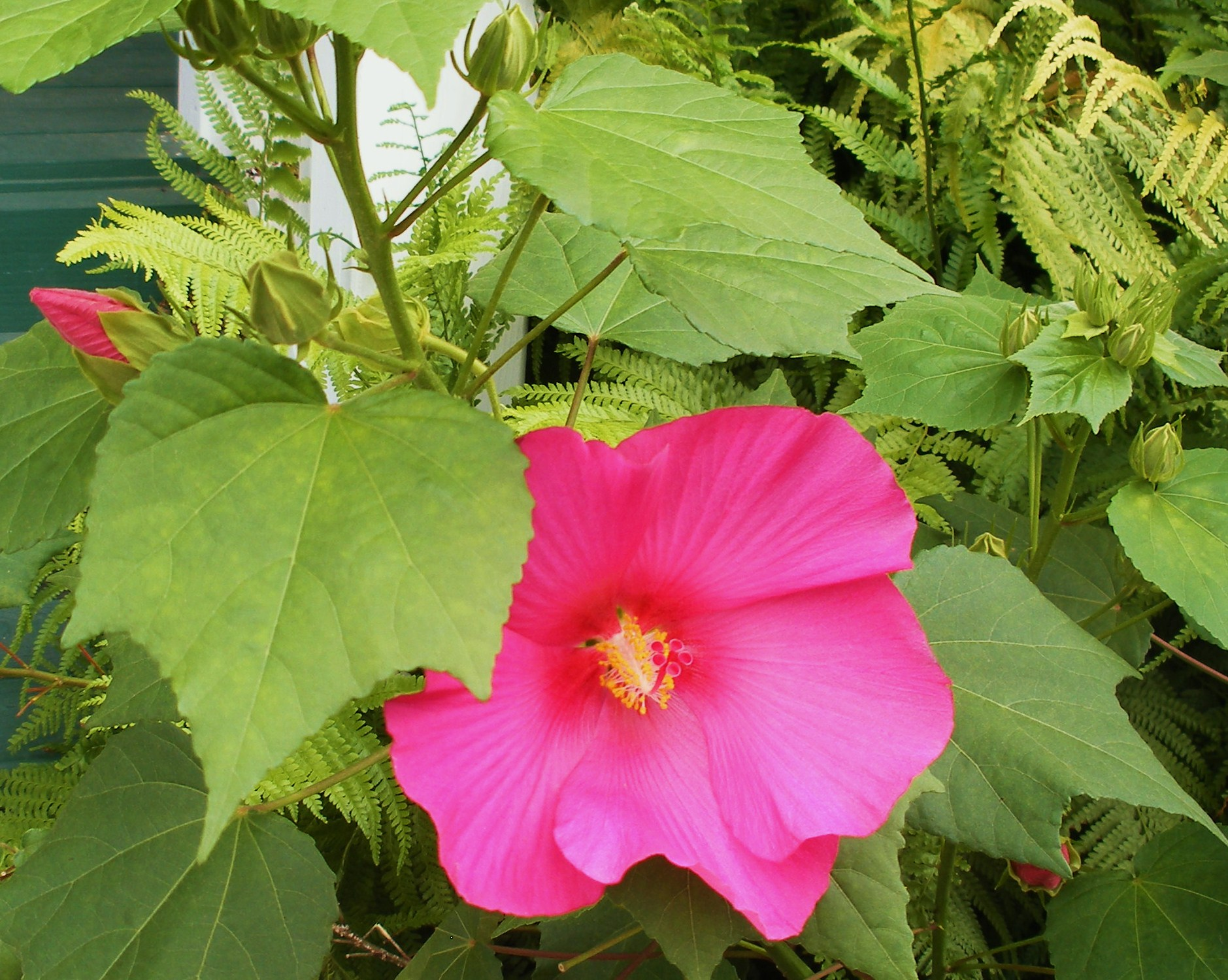 Rose mallow hibiscus care izmirmasajfo Image collections