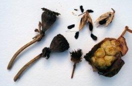 poppy, agapanthus, calla, zinnia seed heads