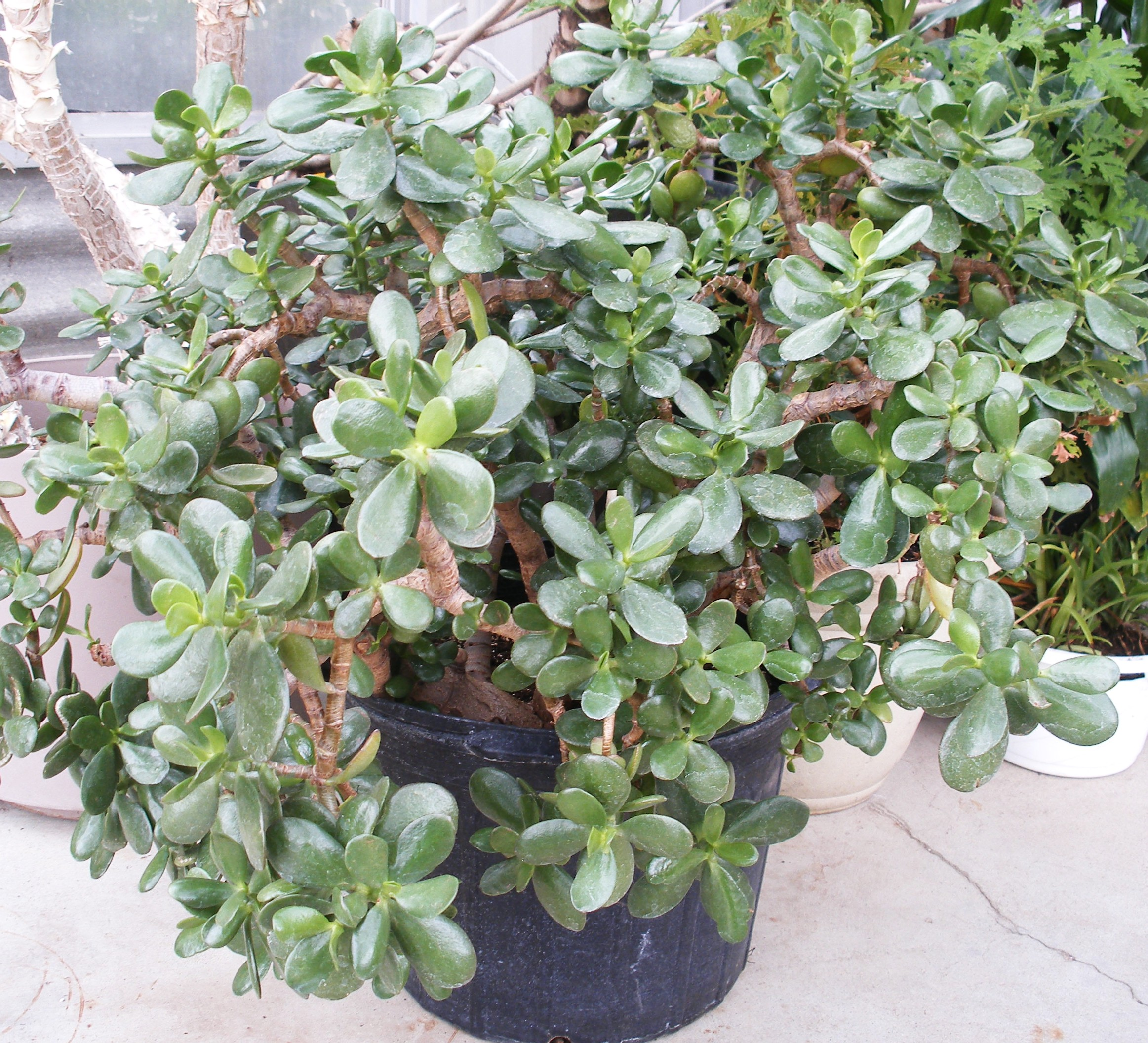 Jade plant care for House plant maintenance