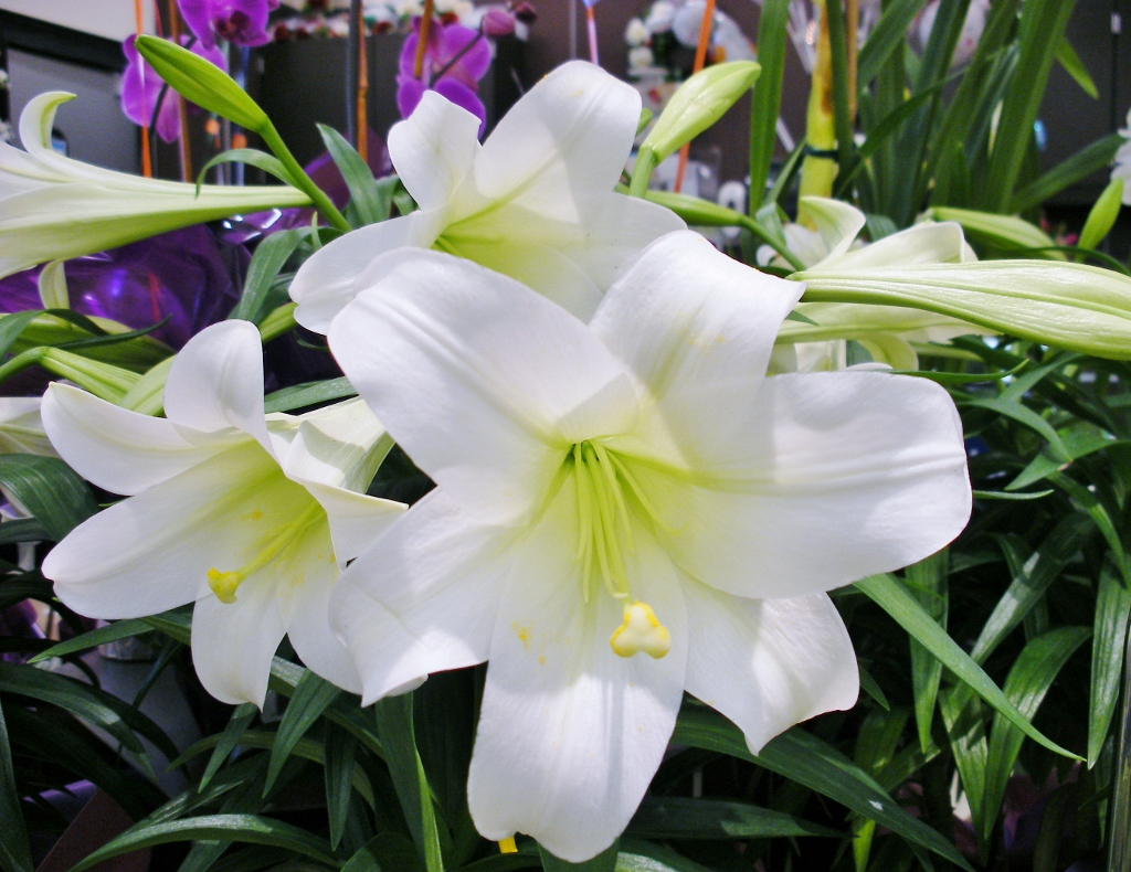 Easter lily care easter lily care izmirmasajfo Image collections
