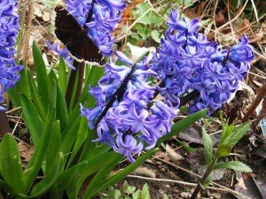 Hyacinth with butterfly