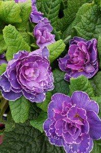 Double primrose flower