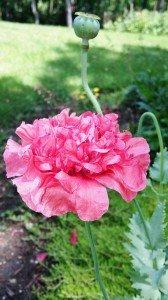 pink carnation poppy (717x1280) (2)